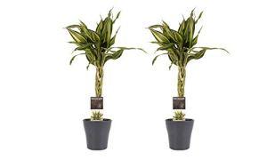Plantes d'intérieur de Botanicly – 2 × Dragonnier en pot de fleur gris comme un ensemble – Hauteur: 45 cm – Dracaena Sandriana Victory