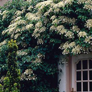 2x Hydrangea anomala | Hortensia grimpant blanc | Hauteur 55-65cm | Pot Ø 15cm