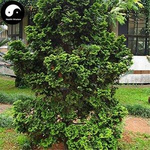 Acheter Real Chamaecyparis Obtusa Breviramea Arbre Graines Plante Thuya grandir Yun Bai Shu Pian