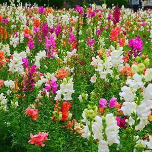 Aerlan Couleur Riche graines,Jardin Graines,Snapdragon Quatre Saisons Fleurs Balcon Jardin en Pot graines-5kg