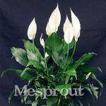 AGROBITS 100 pcs/sac, Spathiphyllum Bonsais, balcon en pot, la plantation est simple, le taux de bourgeonnement de 95%, l'absorption, couleurs mélangées