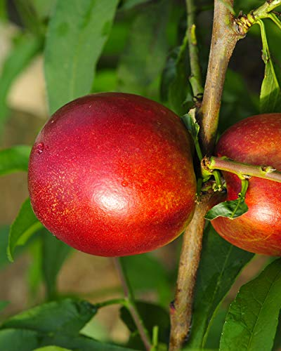 Lot de 2 :Mini-nectarine Morton