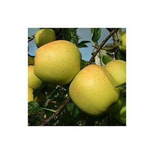 Manzano Golden (jaune) en pot hauteur 1,60 m environ. Grande variété de fruits.