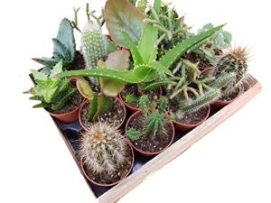 Mini Cactus et Plantes Succulentes, M?lange???incl. Bo?te en bois – 16 Pflanzen je im 5,5cm Topf, incl. Holzkiste