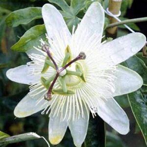 Passiflora Caerulea 'Constance Elliot'- Passiflore 50-60 cm en conteneur