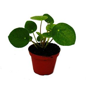 Pilea Peperomioides – Lefse Plant – Chinesise Money Tree – Belly Button Plant in a 7cm pot