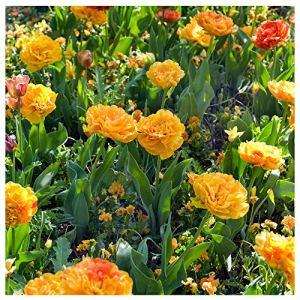 Plant & Bloom – Bulbes de fleurs, Tulipes Caméléons à fleurs doubles d'Hollande – 25 ampoules, plantation d'automne, faciles à cultiver, floraison printanière – Oranges– Qualité supérieure hollandaise