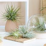 PLANT IN A BOX – Set de 5 Tillandsias- Plantes aériennes- H5-10cm