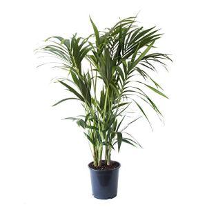 Plante d'intérieur | Plante verte naturelle | Palmier Kentia | Hauteur 90-110 – 125 cm | Entretien facile (125, Sans cache pot)