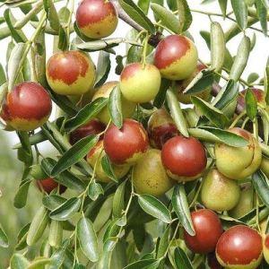 Sump Fresh 5pcs graines de fruits de jujube sucré pour la plantation vert rouge 3