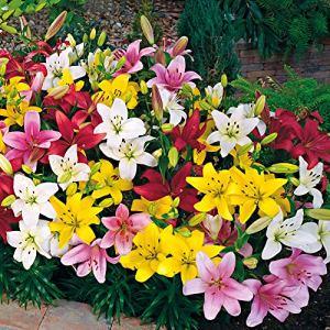 10x Lilium LAMBADA | Bulbes de Lys | Mix de couleurs | Plantes fleuries vivaces | Ø 12-14cm