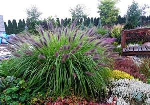 3 x Pennisetum alopecuroides 'Black Beauty » 1 litre (herbe ornementale, herbe, arbustes)