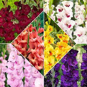60x Gladiolus | Bulbes de Glaïeuls à grandes fleurs | Mélange de couleurs | Plantes fleuries d'été