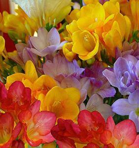 Bulbes à fleurs pour la floraison PRINTEMPS/ÉTÉ/AUTOMNE (10, Freesias en mélange)