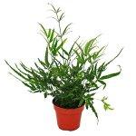 Fougère – Lot de 3 – composé de 3 espèces de fougères spéciales pot de 12cm