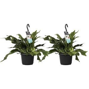 Fougères – 2 × Platicerium – Hauteur: 45 cm