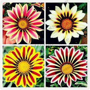 Générique frais 100pcs graines de fleur de gazania pour la plantation mixte