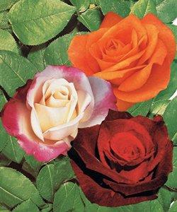 Lot de 2:Collection de 3 rosiers Sans entretien