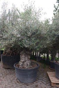 Olea Europea Olivier dur en hiver, circonférence 120/140 cm, tronc nordique ancien, hauteur env. 290 cm