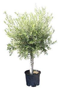 Olivier – Olea europea – 160/170 cm – Tronc épais de 20/40 cm – Résistant au froid