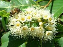Alick 30pcs graines de plantes d'eucalyptus deglupta