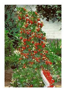 Escalade fraise géante – 30 graines