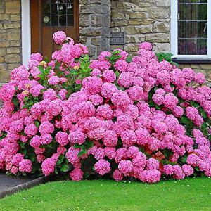 Hydrangea macrophylla ROSITA | Hortensia | Fleurs roses | Plante Vivace | Hauteur 25-30cm | Pot Ø 14cm