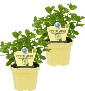 Mentha spicata Mentha spicata bio menthe de cocktail pour plantes herbes de culture durable 2 Pflanzen je im 12cm Topf