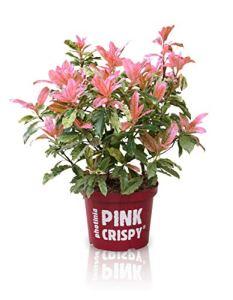 Photinia serratifolia Pink Crispy | Photinia rose | Arbuste dornement | Hauteur 10-20cm | Pot Ø 13cm