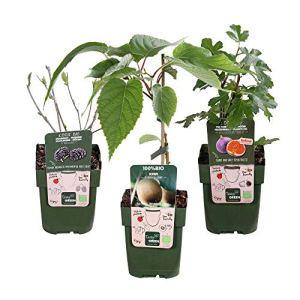3x Arbres fruitiers bio – Mix SUMMERFRUIT   Figuier, Kiwi, Mûrier   Fruits frais et organiques   Hauteur livraison 30-60 cm   Pot Ø 13cm