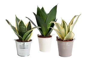 Arbres de Botanicly – 3 × Langue de belle-mère – Hauteur: 15 cm – Sansevieria