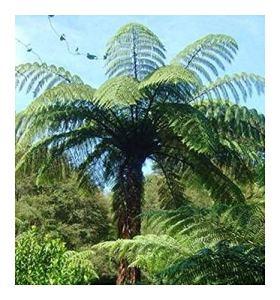 Cyathea medullaris – fougère arborescente noir – 10 graines