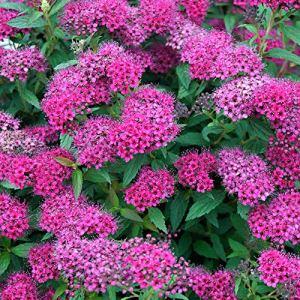Spiraea japonica Anthony Waterer | Spirée du Japon rose | Hauteur 30-35cm | Pot Ø 15cm