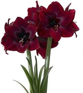 2Pcs Noir Rouge Jolies Ampoules D'amaryllis Belle Floraison Spectaculaire Amaryllis Fleur Coupée Décorer Ampoule D'Hippeastrum Fraîche Pour La Plantation De Jardin à La Maison