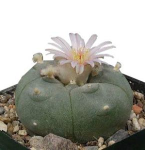 50 x Lophophora williamsii – graines – Peyote Cactus