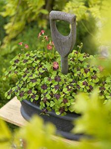 Bulbes à fleurs pour la floraison PRINTEMPS/ÉTÉ/AUTOMNE (15, Oxalis IRON CROSS – QUATREFOIL)