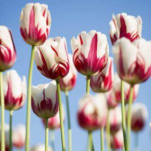 Bulbes Tulipes,C'est une sorte de fleur solide, qui tremble quand le vent souffle,-1,12Bulbes