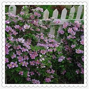 Clématite Clématite Rhizome Cultivé dans le jardin,Plantation facile,Plante verte,Facile à cultiver-6 Rhizome