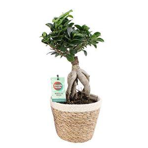 Ficus microcarpa Gingseng   Bonsaï   Plante verte d'intérieur   Hauteur 40-47cm   Panier Ø 17cm inclus