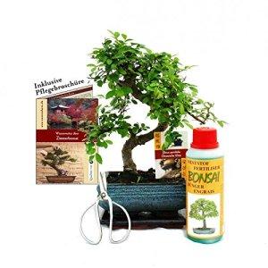 Gift set Bonsai»Ulmus» – Chinese elm – approx. 6 years old – beginner set