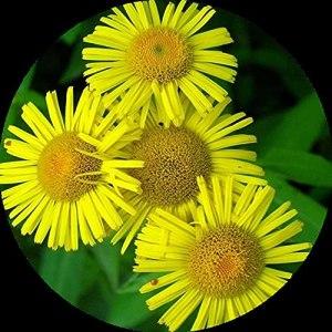 Graine de chrysanthème sauvage Graine de chrysanthème Fleur vivace 300 capsules