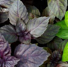 Graines de basilic rouge rubin ocimum basilicum appx 300 graines