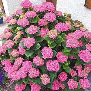 Hortensia macrophylla Rosita boutonné | 40 CM | Prêt à planter | Livraison Gratuite