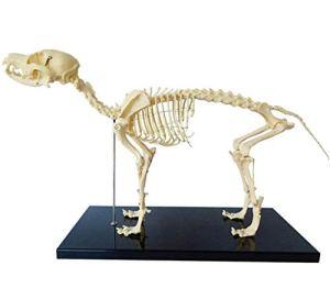 Modèle de copie de squelette de chien,Modèle d'enseignement de l'anatomie animale chiens anatomie animale et biologie humaine enseignement outil de démonstration d'enseignement vétérinaire