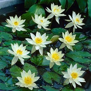 Nymphaea PYGMAEA HELVOLA | Nénuphar blanc | Plante aquatique | Hauteur 30cm | Pot Ø 11cm
