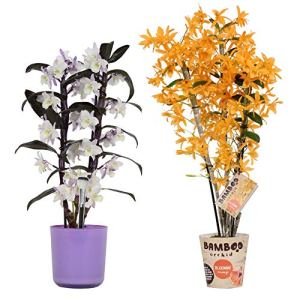 Orchidées de BAMBOO ORCHID – 2 × Bambou Orchidée – Hauteur: 12 cm, 3 pousses, fleurs violettes et blanches – Dendrobium Nobilé
