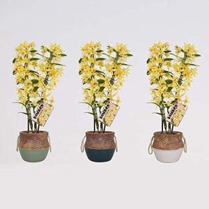 Orchidées de BAMBOO ORCHID – 3 × Bambou Orchidée – Hauteur: 50 cm, 2 pousses – Dendrobium nobile Chyomi