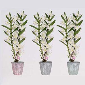Orchidées de BAMBOO ORCHID – 3 × Bambou Orchidée – Hauteur: 50 cm, 2 pousses – Dendrobium nobile Kumiko