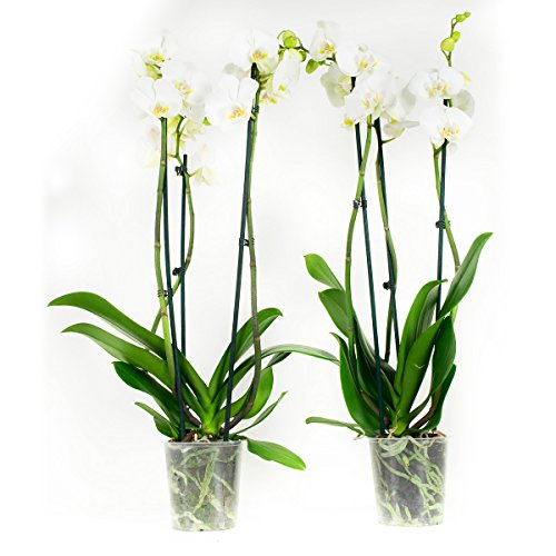 Phalaenopsis Blanc – Hauteur 60 – Diamètre pot 12