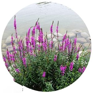 Purple Lythrum Seed Water Branch Willow on Leaf Lotus Landscape Flower Seed 300 Capsules